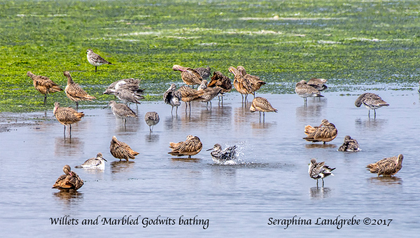 _DSC0442Willets and Godwits.jpg