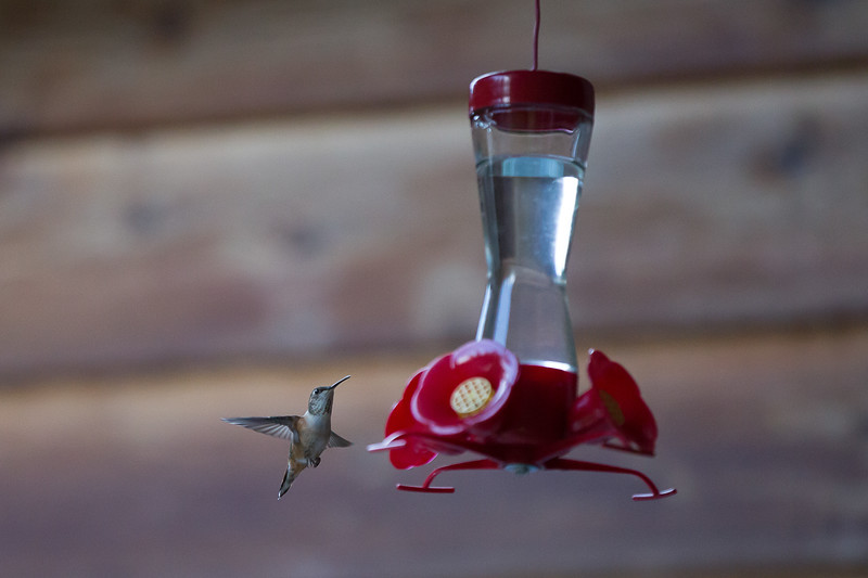 humming bird (45 of 55).jpg