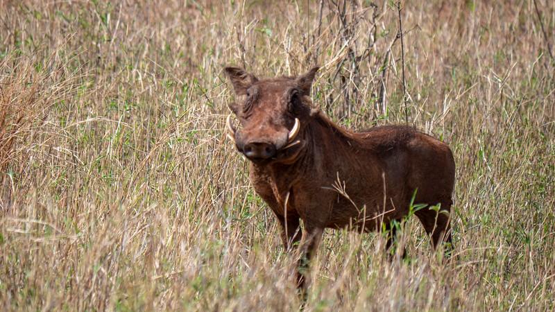 Tanzania-Tarangire-National-Park-Safari-Warthog-01.jpg