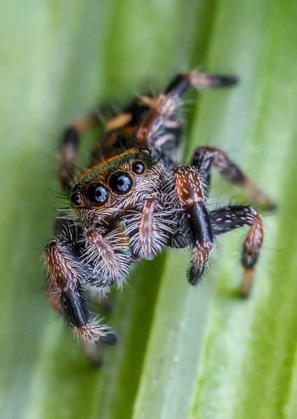 Tiny jumping spider
