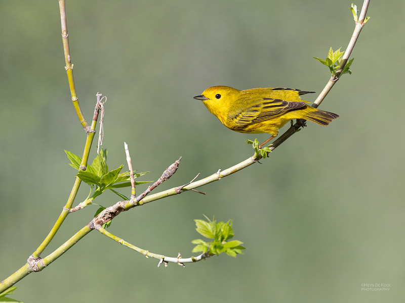 Yellow Warbler, Standing Bear Lake, NE, USA, May 2018-1.jpg