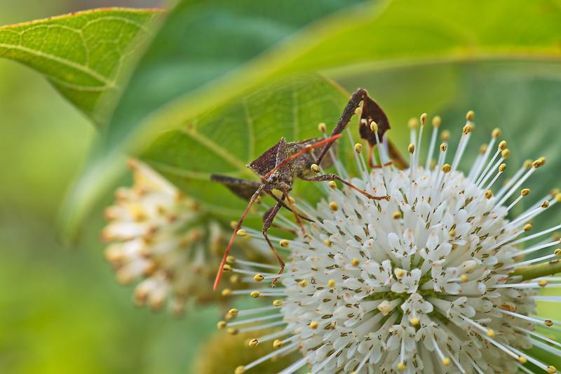 20190619_AnahuacNWR_Butterfly_Garden_Eastern_Leaf-footed_Bug_500_8295.jpg