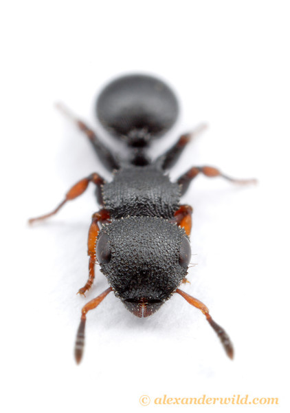 Cataulacus brevisetosus