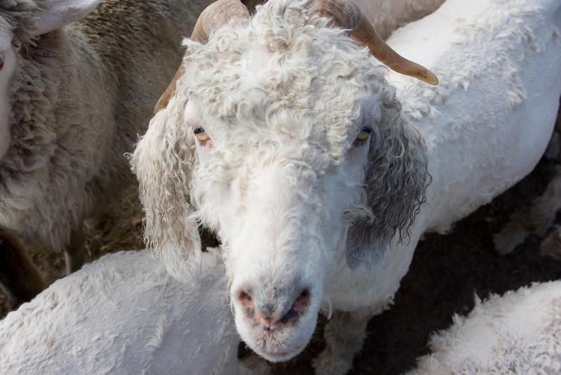 Shorn goat.