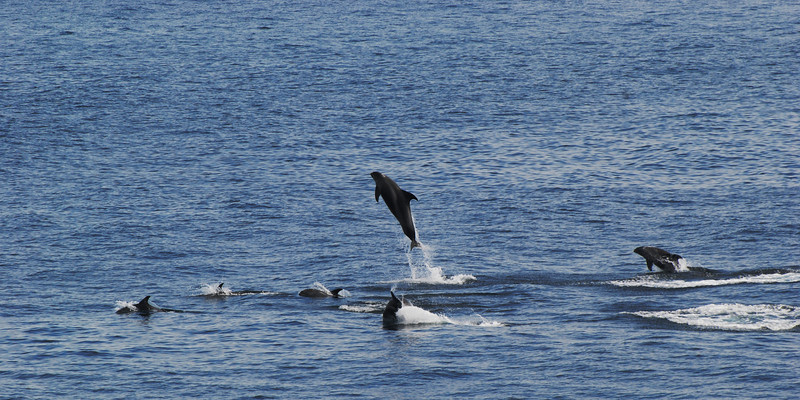 """<html><span class=fre>Dauphins à nez blanc</span> <span class=eng>White-Beaked Dolphins</span> """"jumpers"""" (<i>Lagenorhynchus albirostris</i>)</html>"""