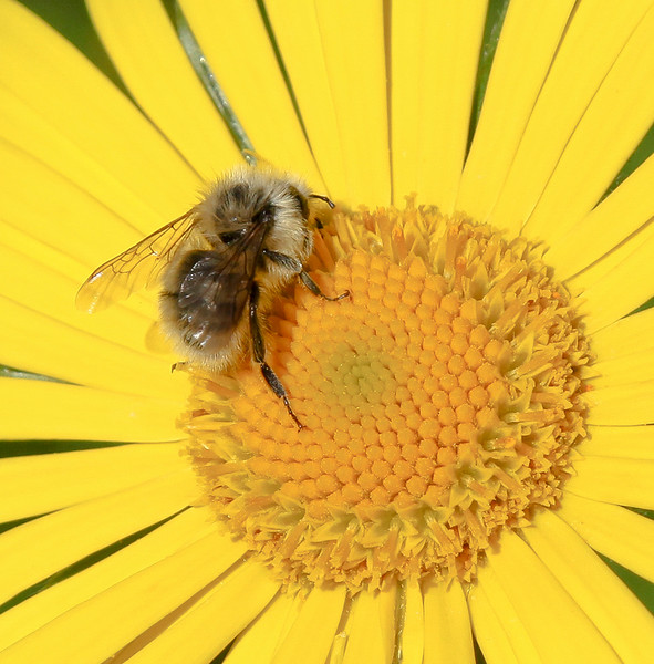 Bee on a Yellow Daisy