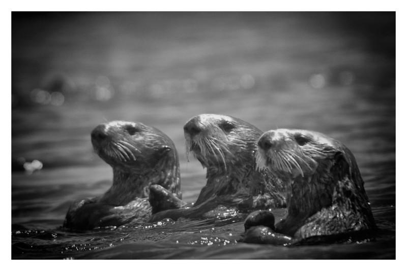 Otter Trio BW 3900.jpg