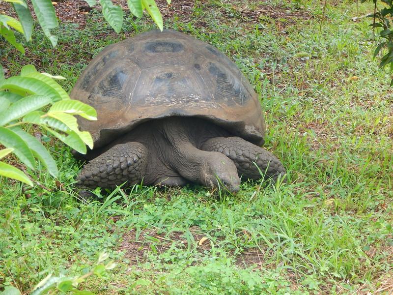 Giant Tortoises in the wild on Santa Cruz