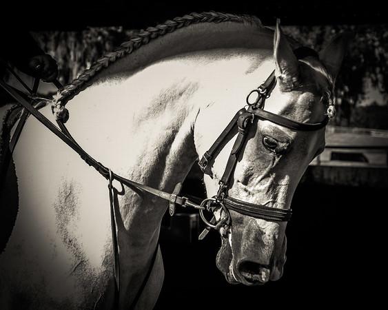 Wilson Training & Bloodstock - Arabians