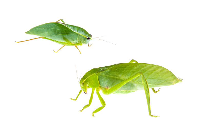 False leaf katydids