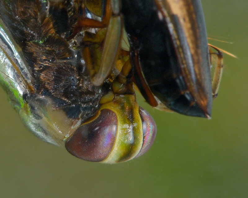 Backswimmer, Vancouver Island.
