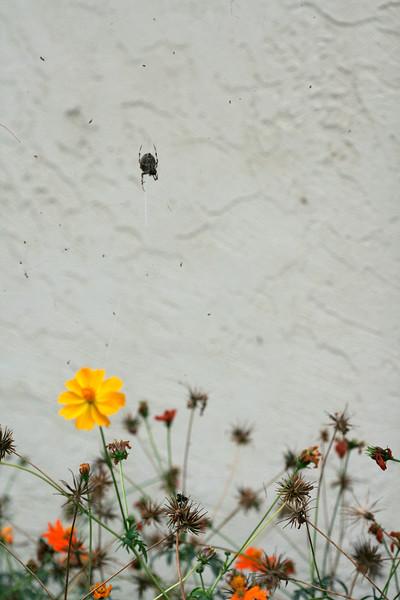 9113 Spider over Cosmos.jpg