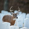Whitetailed buck in Jefferson Barracks National Cemetery in St. Louis, Mo.