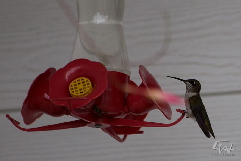 Hummingbird-1882.jpg