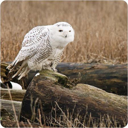 Snowy Owls 2012