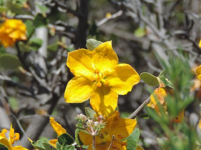 California Flannelbush (Fremontodendron californicum)