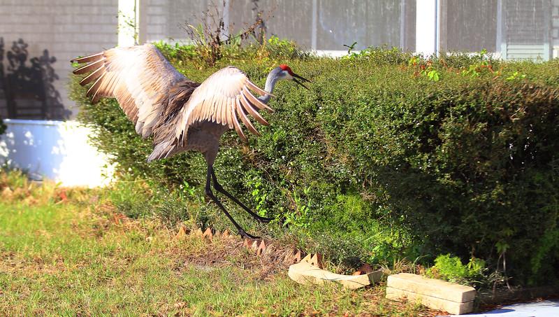 cranes-3-4-19_4842-cropped.JPG