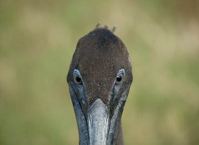 Brown Pelican Eyes