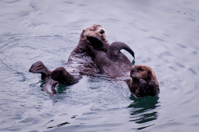Mama & Juvenile Sea Otters Cordova Ferry Dock Alaska © 2009