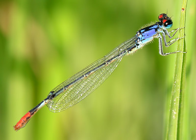West Texas Odonata