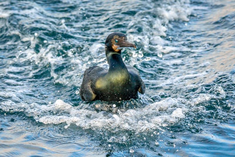 -_Brandt's Cormorant - 2014-01-26_070 Monterey.jpg