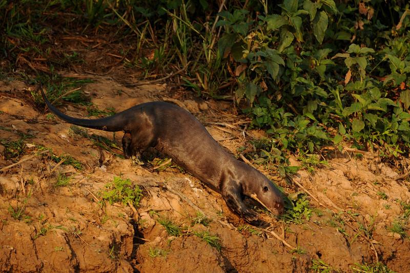 Giant Otter, Pteronura brasiliensis. Rio São Lourenço, Mato Grosso, Brasil.