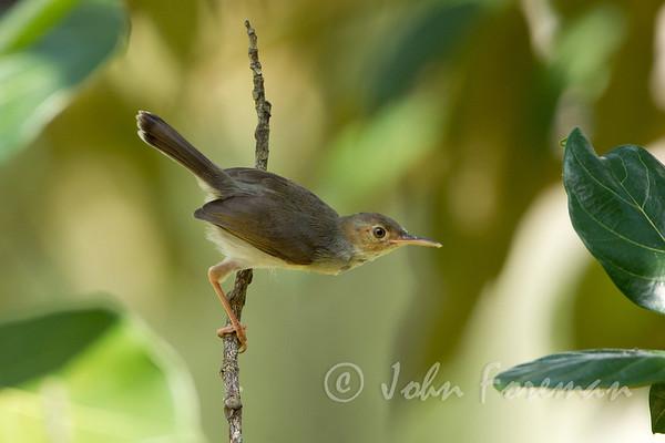 Tailorbirds