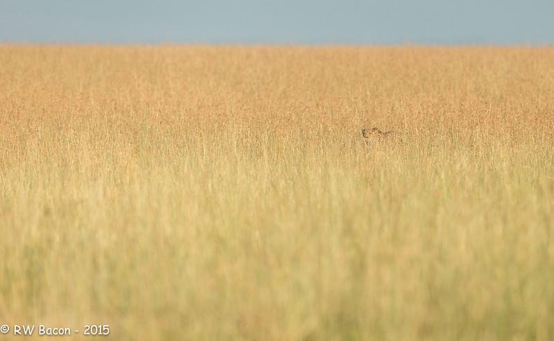 Stalking Cheetah.jpg