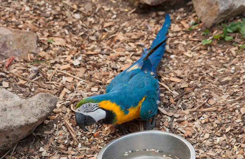 Blue and yellow Macaw portrait - Ara ararauna