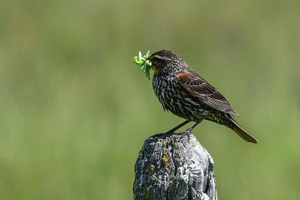 6-26-17 Female Red-winged Blackbird