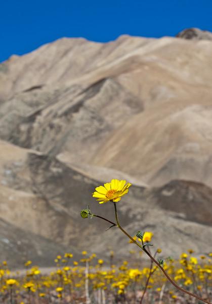 daisy-death-valley-np.jpg