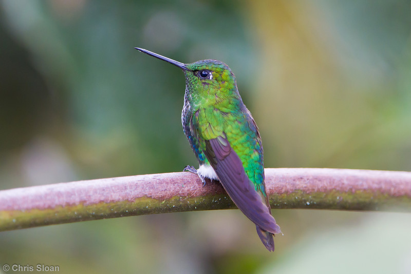 Emerald-bellied Puffleg at Owlet Lodge, Amazonas, Peru (06-30-2010) 207