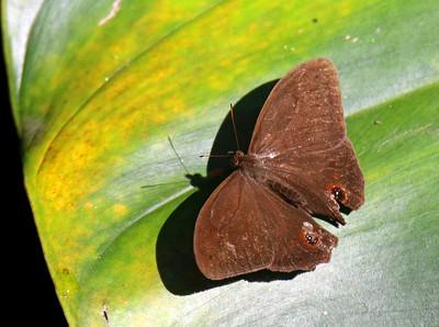 Unidentified Butterfly (brown & 2 eye spots)