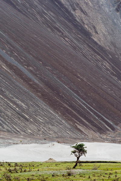 Tree near Hunder sand dunes, Nubra Valley