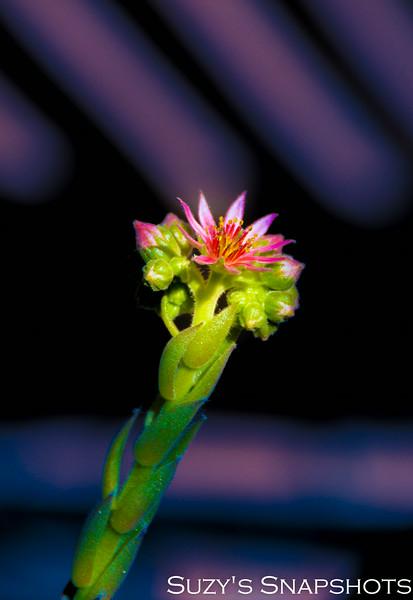 SuzysSnapshots_CactusFlower-1.jpg