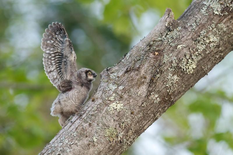 Northern Hawk Owl baby juvenile Owl Ave Sax-Zim Bog MN Northern Hawk Owl baby juvenile Owl Avenue Sax-Zim Bog MN IMG_1228.jpg