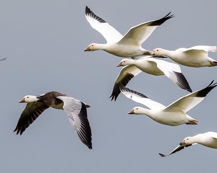 Ross's Geese - Blue Morph