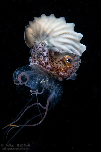 Nautilus and jelly_april (1 of 1).jpg