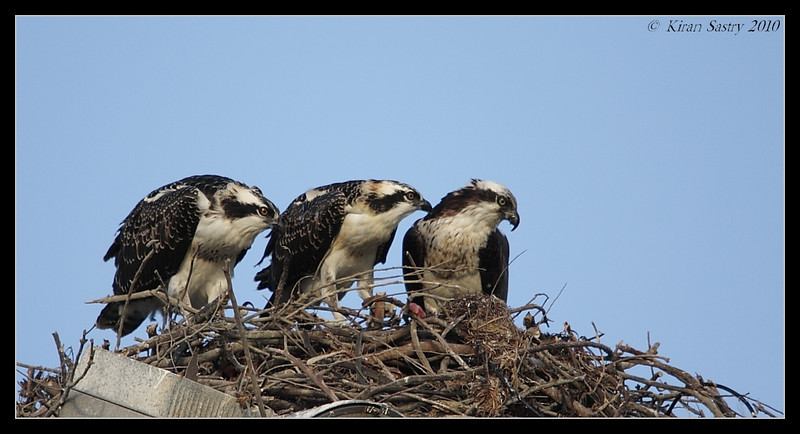 Osprey family portait, Robb Field, San Diego River, San Diego County, California, May 2010