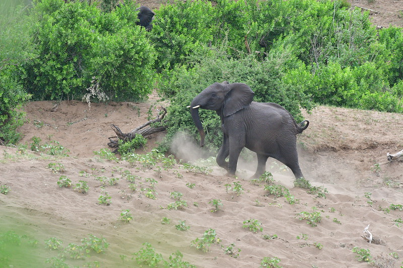 Wondering Elephant