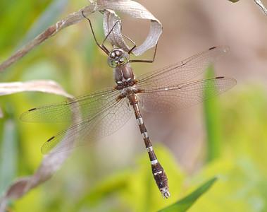 Macromiidae (Cruisers)