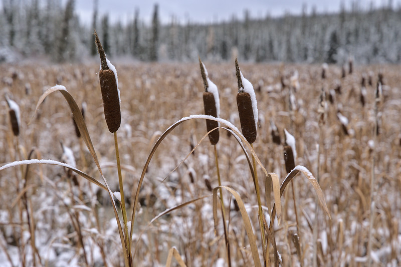 Snow on the Cattails