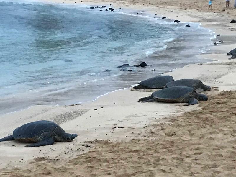 Hawaiian Green Sea Turtles resting on Poipu Beach