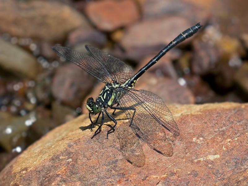 Northern Pygmy Clubtail (Lanthus  parvulus), Male