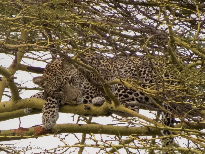 LeopardK-4.jpg