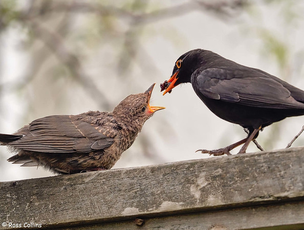 Blackbird Baby Feeding 2020