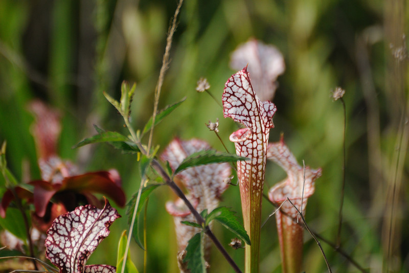 We spent the day working at my Mom's house, but on the way home we stopped by the Weeks Bay Pitcher Plant Bog.