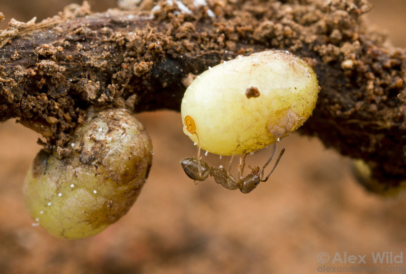 Ground pearls are the large, sedentary adult forms of root-sap feeding insects. Here, two Eurhizococcus brasiliensis hang suspended from grape roots deep underground while a Linepithema micans ant gathers the honeydew exuded by the pearls. These insects are significant pests in Brazilian vineyards.