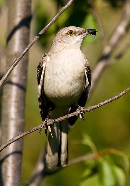 mockingbird-with-snack_3672853535_o.jpg