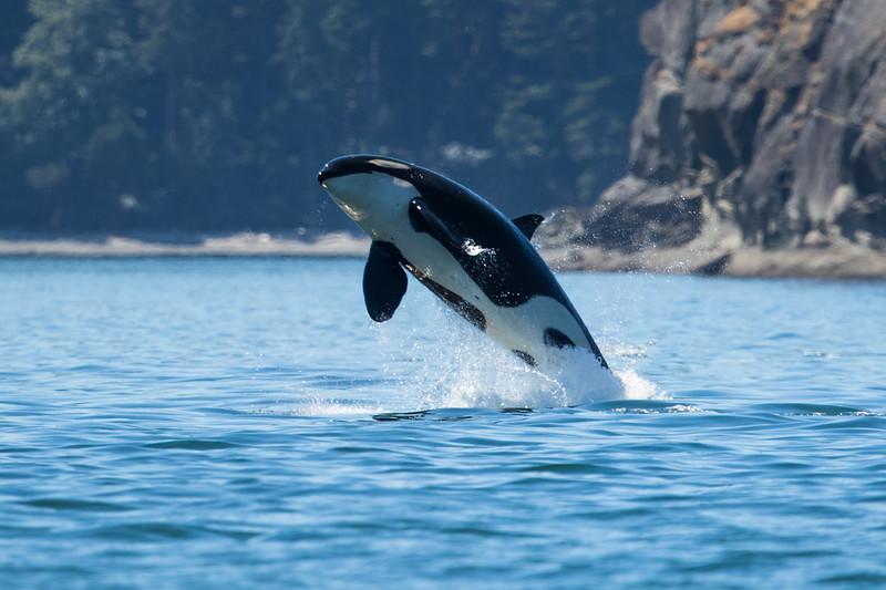 Orcas -  073115-161-Edit.jpg